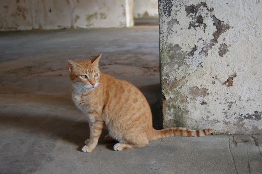 A beautiful cat hangs out in El Morro in San Juan.