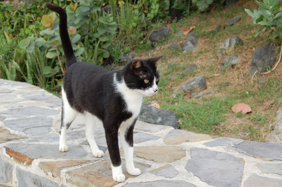 This cat stands proud in Viejo de San Juan.