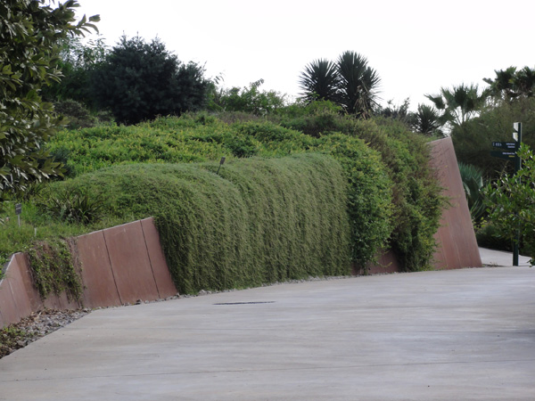 Beautiful creeping fig tumbles over a retaining wall in Jardí Botànic de Barcelona.