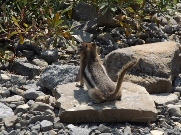 A large chipmunk enjoys the sun at Grinnell Glacier.