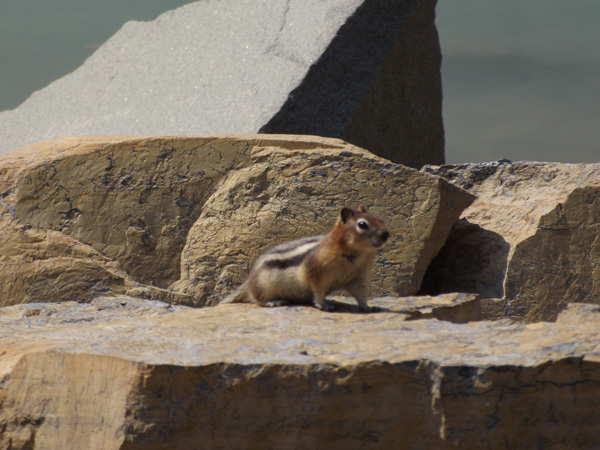 The chipmunks at Grinnell Glacier are large and not afraid of hikers.
