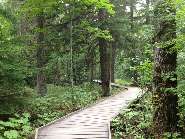 The baordwalk trail leads through the cedar trees.