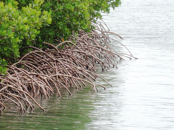 Red Mangrove roots reach out into the water at Bill Baggs Florida State Park.