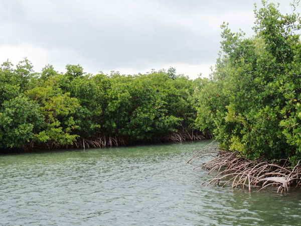 Red Mangroves make up the coastline in Bill Baggs Florida State Park.