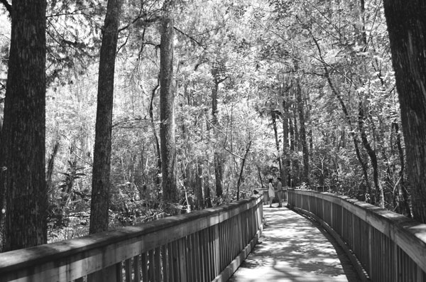 A black and white engagement photo of a couple lost in the cypress swamp.