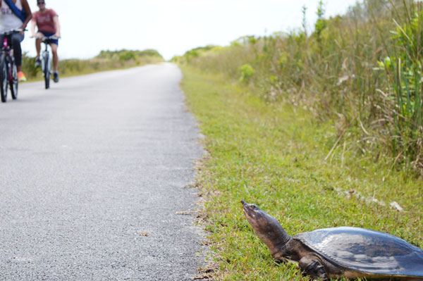A turtle on the side of the path at Shark Valley.