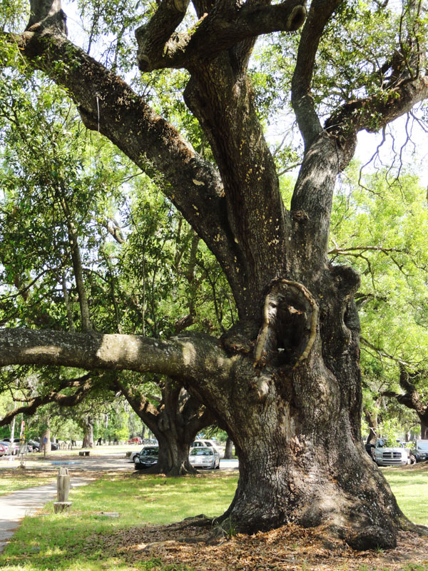The Suicide Oak in City Park has survived years on storms and seasons.