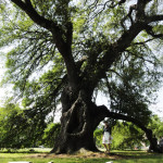 Visiting the Suicide Oak in City Park