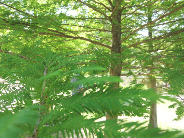 Bald Cypress trees have beautiful leaves with a bright green color.
