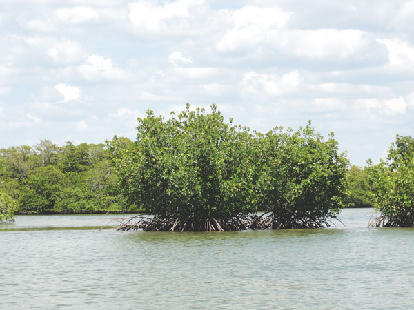 The mangroves stand tall in this part of the Everglades National Park.