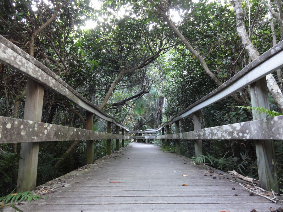 A broadwalk trail in the Everglades leads through the Mahogany trees.
