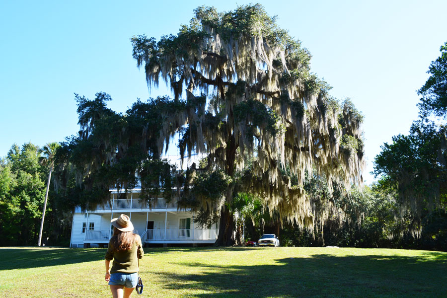 Beautiful spanish moss hangs from a large oak tree outside of the Thursby House at Blue Springs.