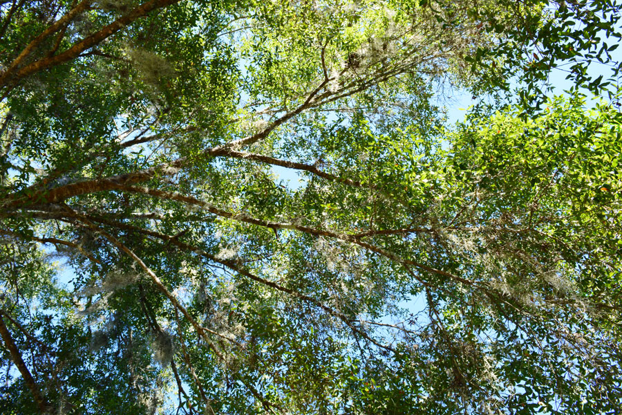 Looking up at the trees in Blue Springs State Park in Orlando, Florida.