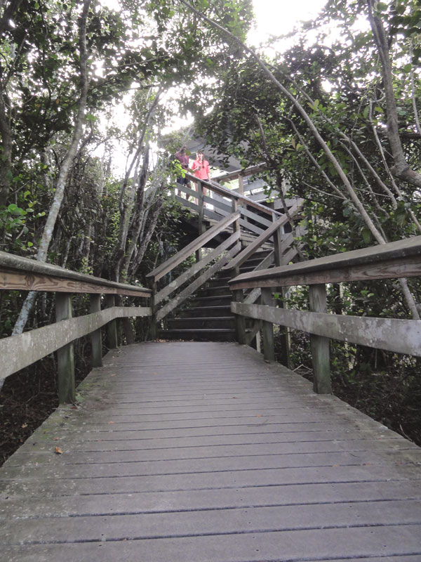 Down the wooden boardwalk along a short trail in the Everglades.