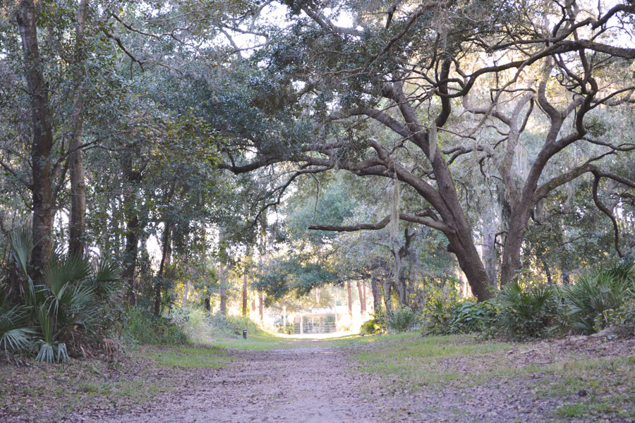 A beautiful alley of trees at the Red Bug Slough in Sarasota, Florida.