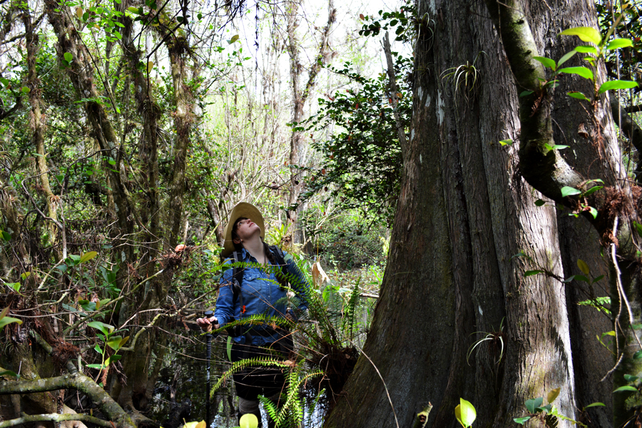 Meredith Lambert Banogon admires the large old growth cypress trees in the heart of Big Cypress National Park.