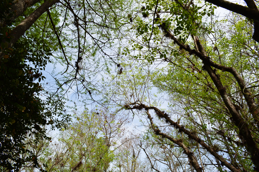 The tangled canopy of the swamp along the Florida Trail in Big Cypress National Preserve.