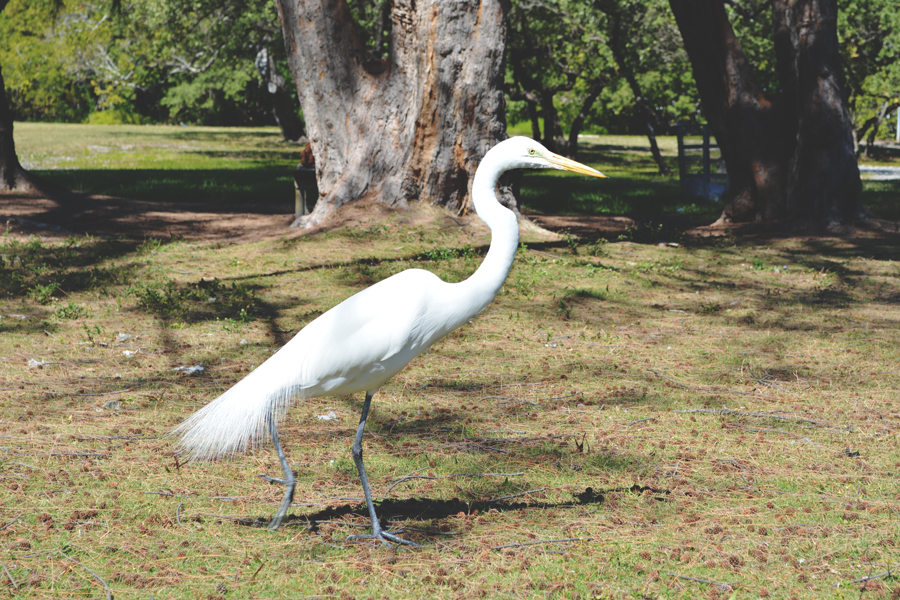 A snowy egret prowls for food in the picnic areas of Matheson Hammock.