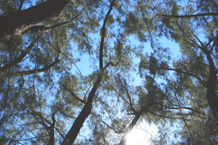 The canopy above the picnic area at Matheson Hammock in Miami, Florida.