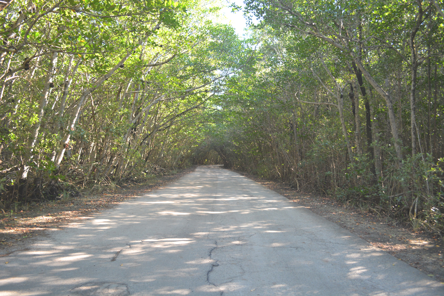 A mangrove tunnel shades the road leading deeper into Matheson Hammock.