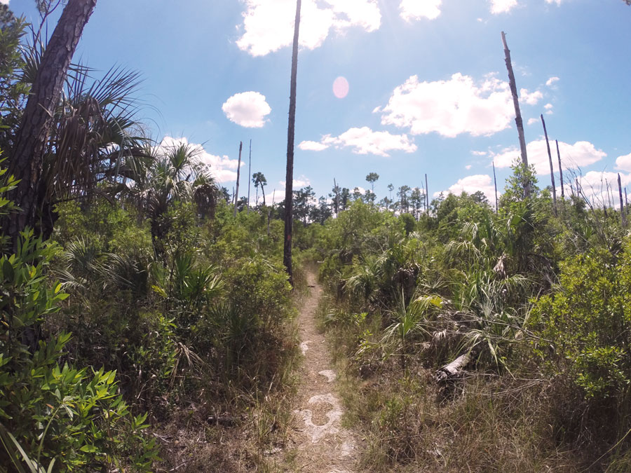 The scorched trail known as Gator Hook Trail surrounded by the thick growth of Florida outdoors.