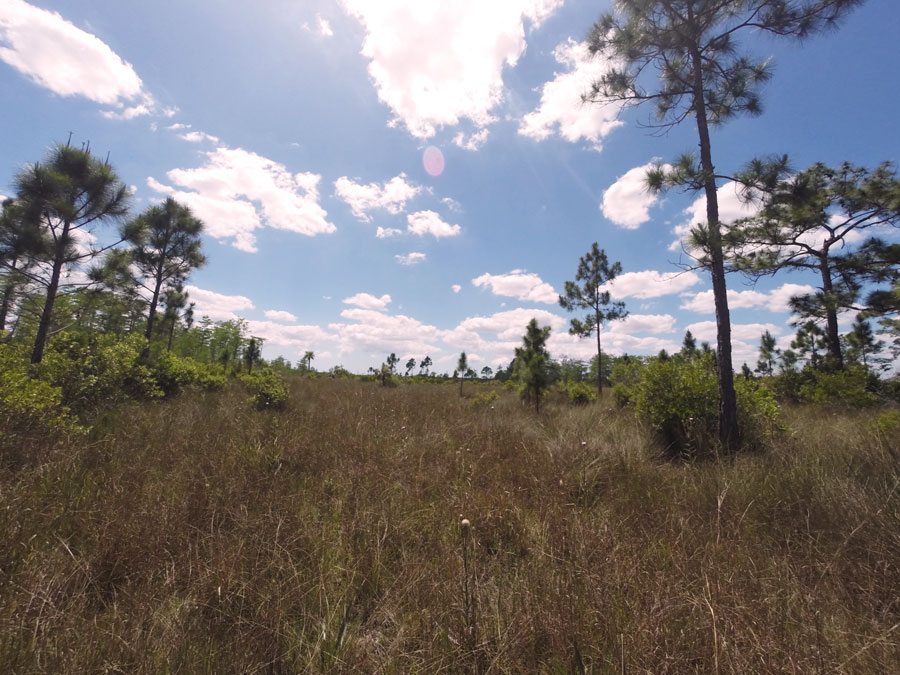 The thick growth of sawgrass and palmettos along a Florida trail in Big Cypress National Park.