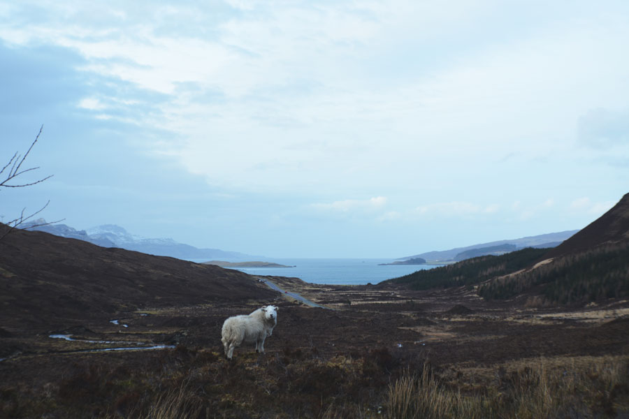 A lone Scottish sheep wanders the highs and lows of the Highlands for a perfect view of the moors.
