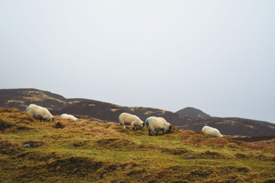 Sheep roaming the rolling hills of the Isle of Skye.
