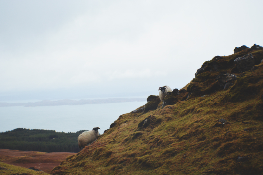 Roaming sheep on the Isle of Skye along the hike to the Old Mano of Storr.