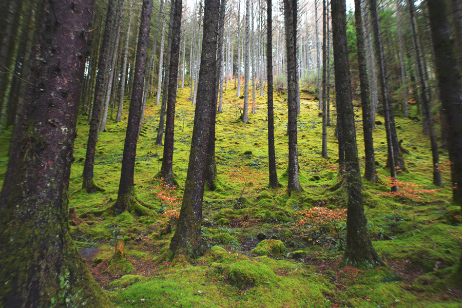 The mossy forest of the Craig Liath Wood near the Well of the Seven Heads.