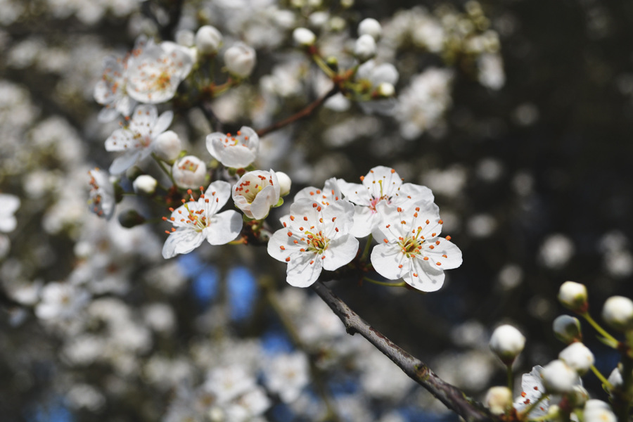 A detail shot of a white cherry blossom in the Royal Botanic Gardens at Kew.