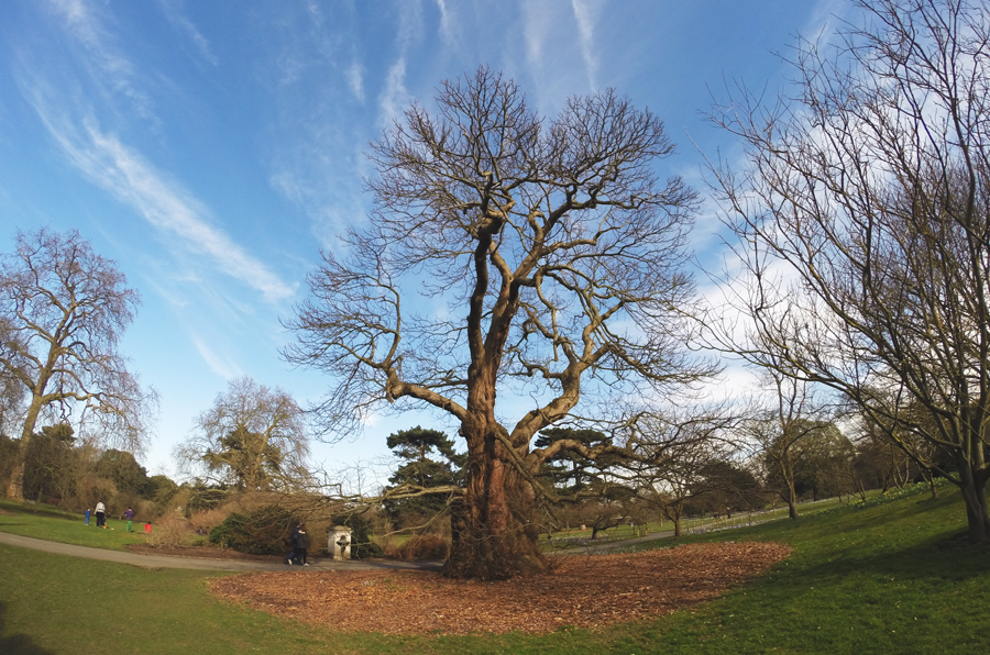 This 300 year old Sweet Chestnut is the oldest tree at the Royal Botanic Gardens at Kew.