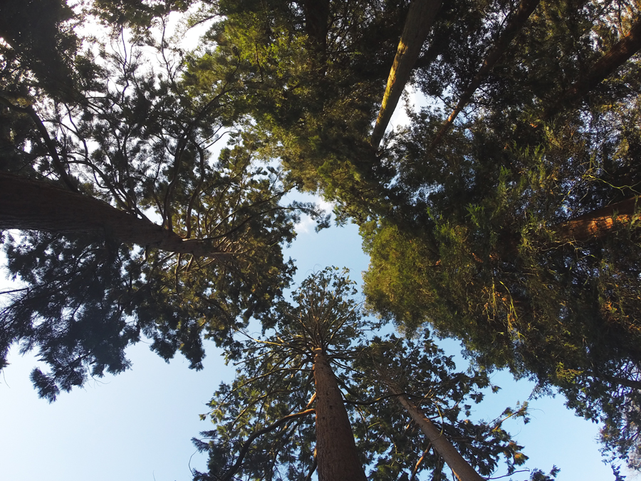 A picture looking up at the impressive height of Redwood trees at the Kew Gardens, a top stop during any trip to London England.