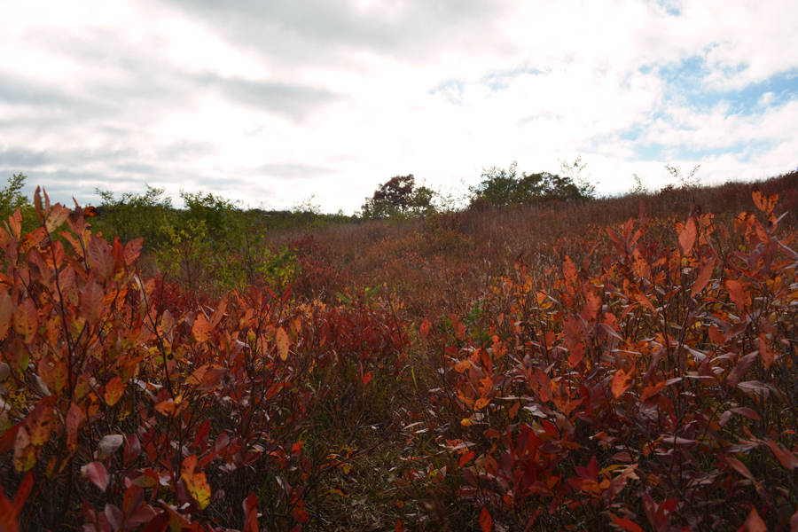 The red leaves of the brush in Big Meadows are a beautiful part of fall in Shenandoah.